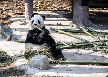 大熊貓盡享冬日暖陽