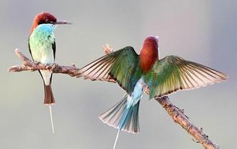 美麗小鳥藍喉蜂虎現身閩江中下遊河谷