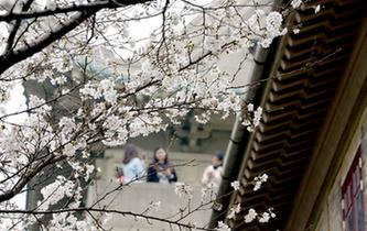 武漢大學櫻花初綻