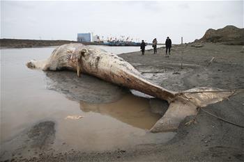 上海發現一死亡須鯨 計劃制成標本