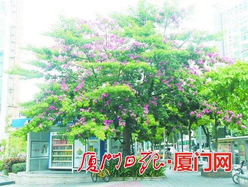 冷,有一种粉红色的花正在鹭岛热情绽放,它就是美丽异木棉,也叫美人树.