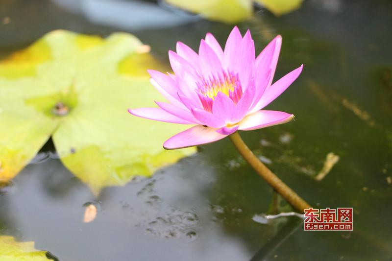 碗莲是微型莲花的统称,在中国碗莲有很长的栽培历史 东南网记者 林峰峰 摄.jpg