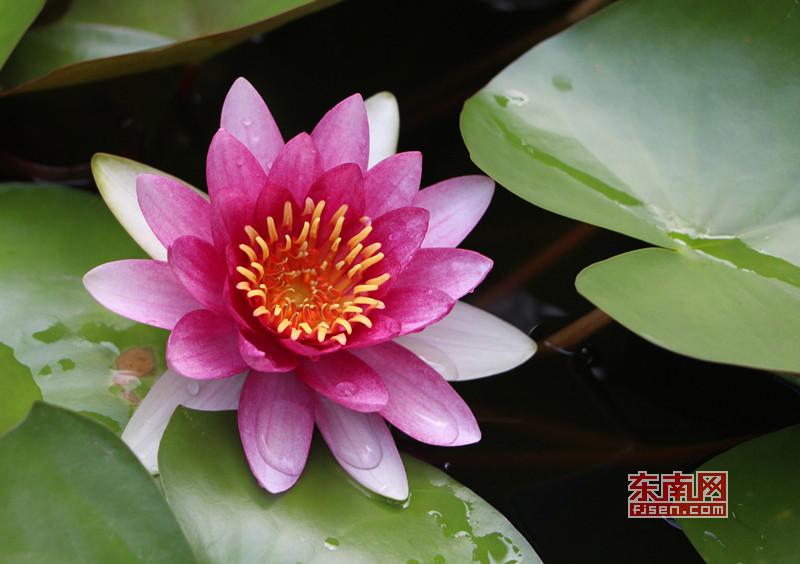 茶亭公园荷花盛开,颜色姿态各异 东南网记者 林峰峰 摄.jpg