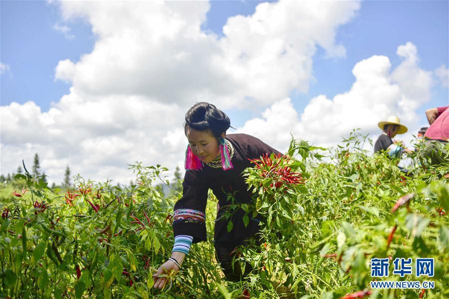 #(經濟)(1)貴州從江:朝天椒助增收