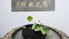 """杭州:宋代古莲""""复活"""""""