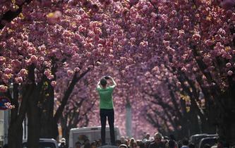 櫻花怒放時遊客拍照忙