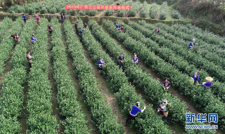 #(新华视界)(1)广西三江:侗乡春暖茶先知