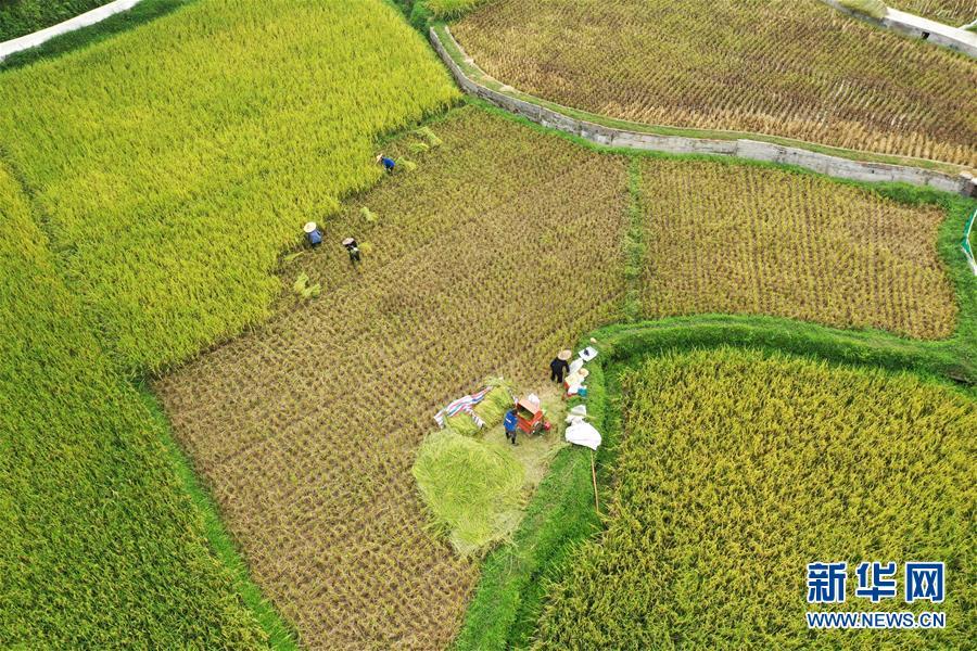#(經濟)(1)廣西三江:搶抓農時收早稻