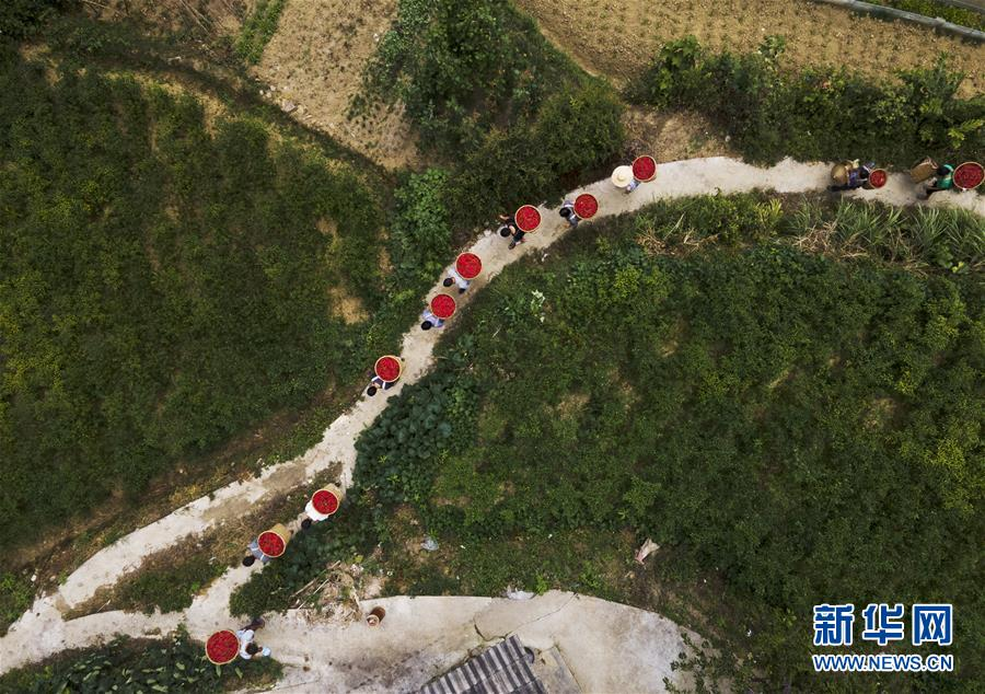 #(經濟)(1)貴州遵義:辣椒豐收助農增收