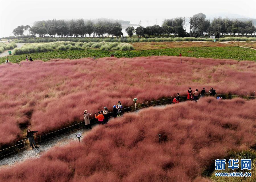 """郑州龙湖湿地公园:畅游""""粉色海洋"""""""