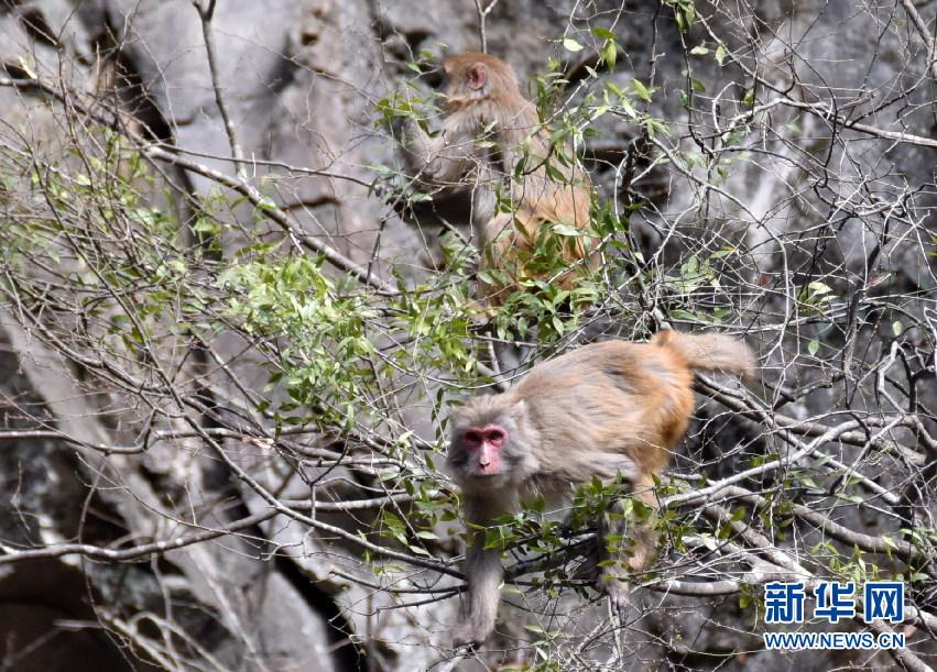 神农架首次在阳日镇武山湖发现野生攻略雪乡旅游住宿猕猴图片