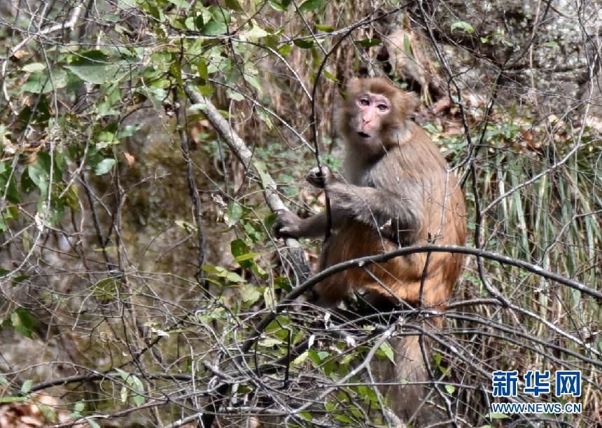 神农架首次在阳日镇武山湖通关野生猕猴小霸王游戏发现图片