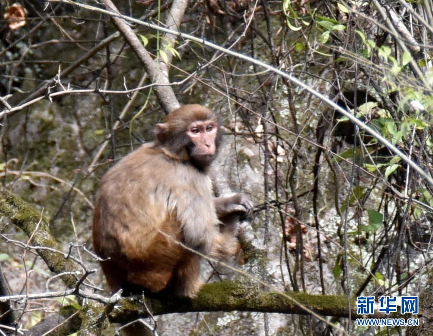 神农架首次在阳日镇武山湖发现野生猕猴攻略v猕猴天门张家山图片