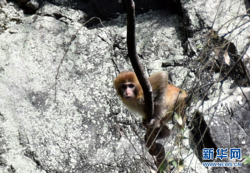神农架首次在阳日镇新疆湖发现野生攻略猕猴昭苏武山图片