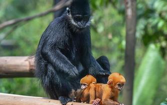 廣州:珍稀黑葉猴誕下龍鳳胎