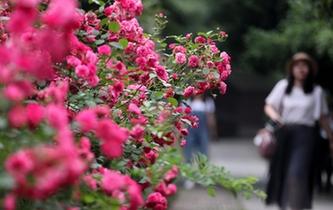 杭州花圃 月季競香