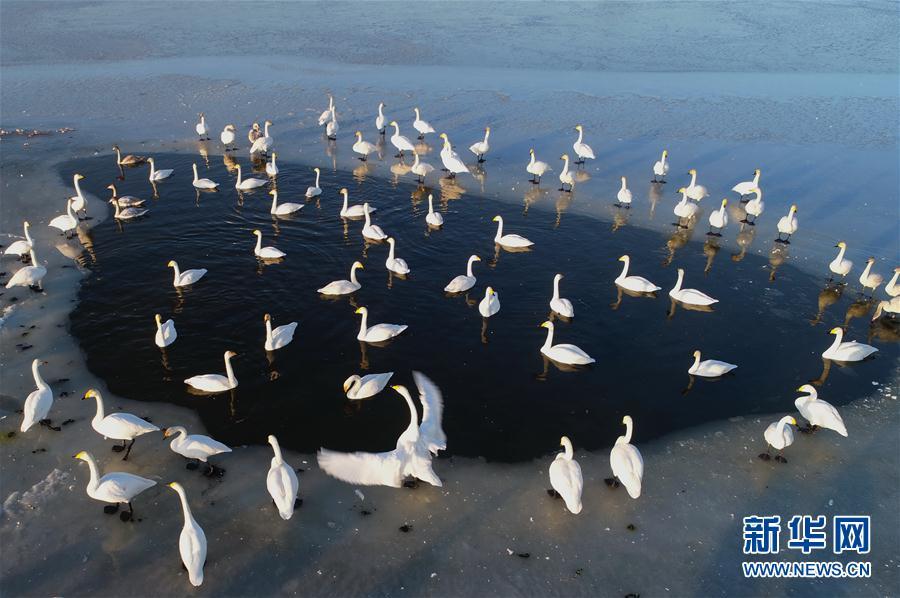 (环境)(3)河北怀来:初冬湿地天鹅舞