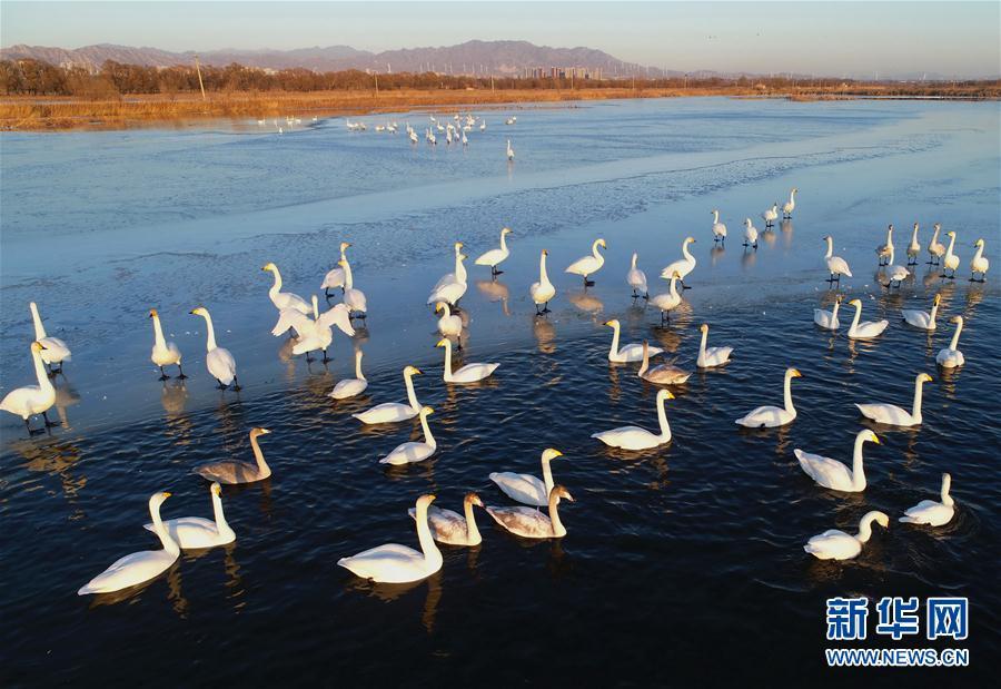 (环境)(4)河北怀来:初冬湿地天鹅舞