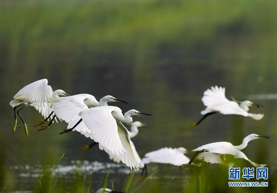 (環境)(1)河北唐山:鷺鳥南湖舞翩躚
