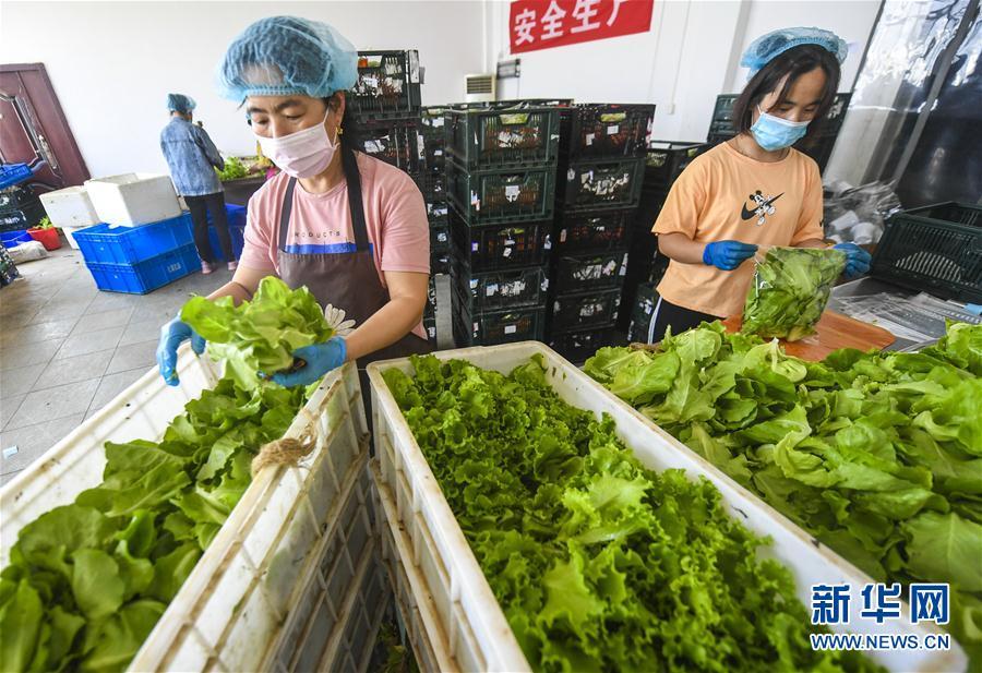 (經濟)(1)河北永清:水培蔬菜助農增收