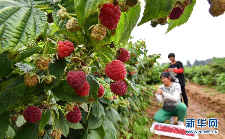 (經濟)(1)河北遷安:特色種植促農增收