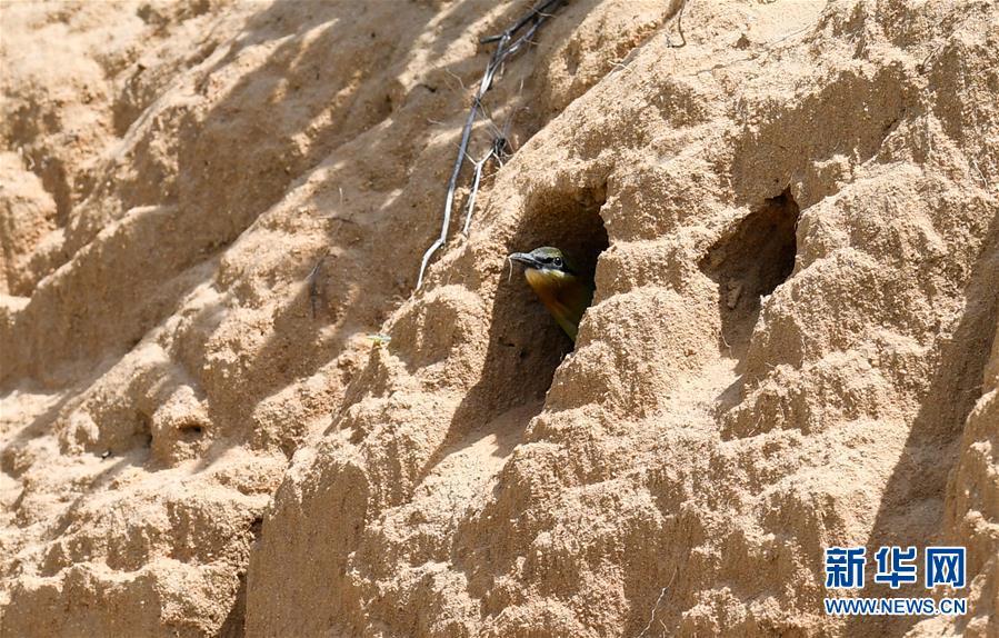 (環境)(2)海口:蜂虎育雛備南遷