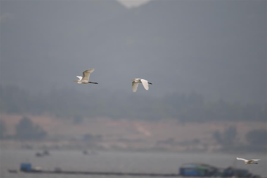 海南陵水:紅樹林裏的白鷺