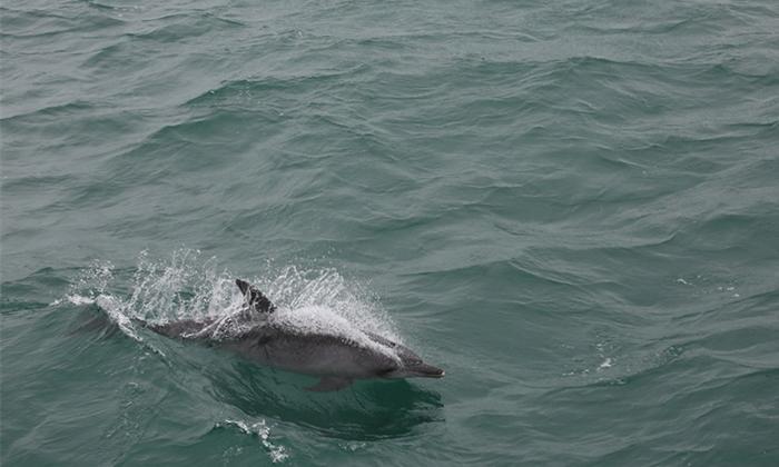 亮眼!瓊州海峽突現海豚群