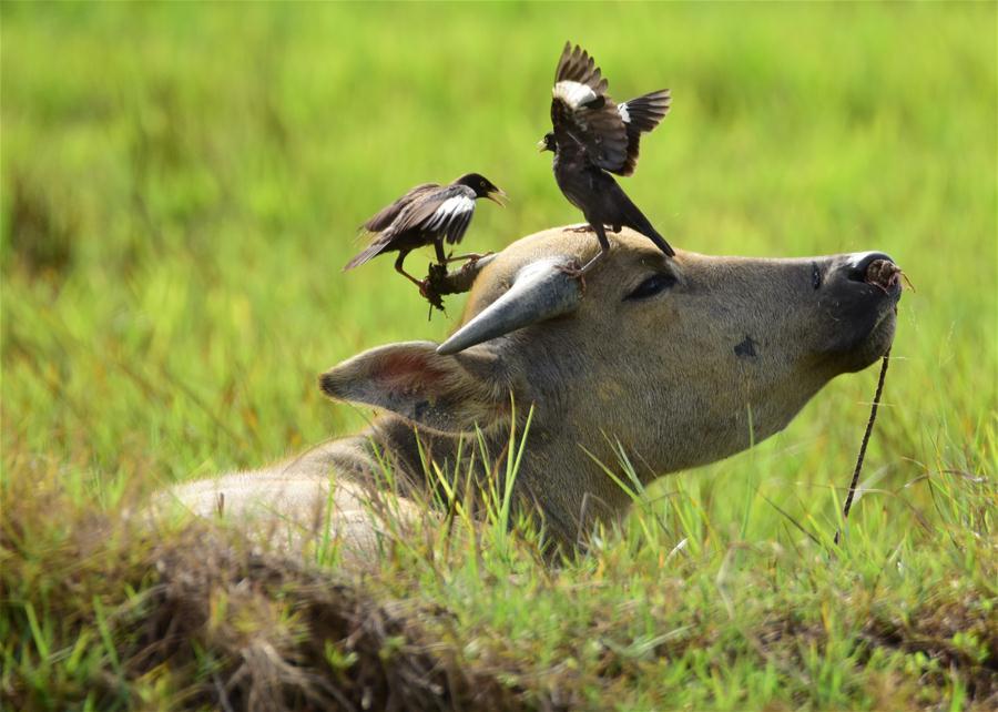 水牛與飛鳥