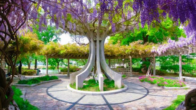 紫藤花綴金陵春 裝點人間四月天