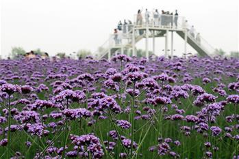 安徽蕪湖:馬鞭草花開迎客來