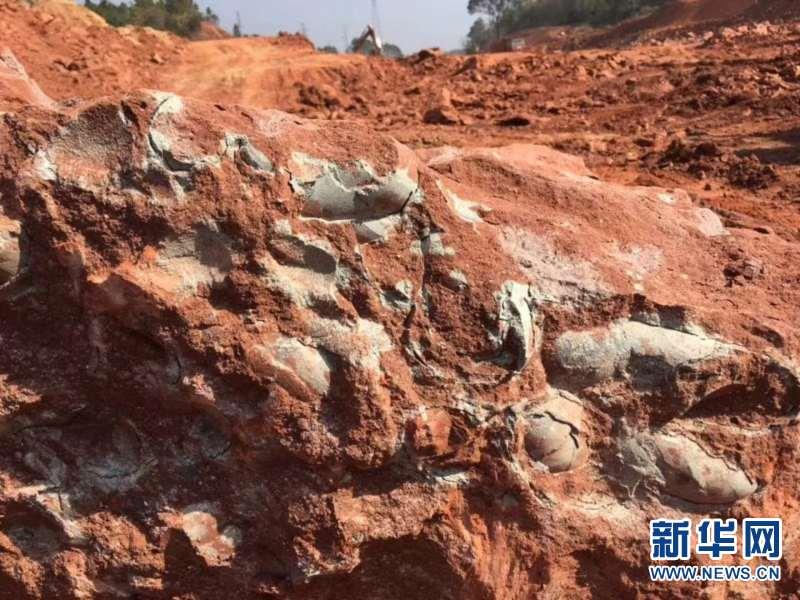 江西大余一工地发现20多枚恐龙蛋化石