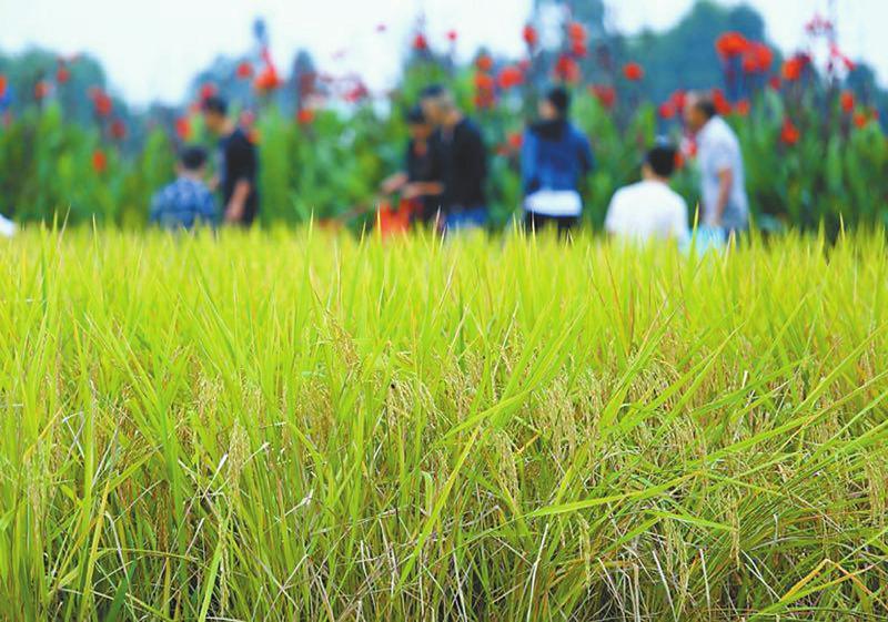 """""""丰收大道""""特色农产品展示展销,""""都江堰猕猴桃""""采摘节,川西林盘音乐节"""
