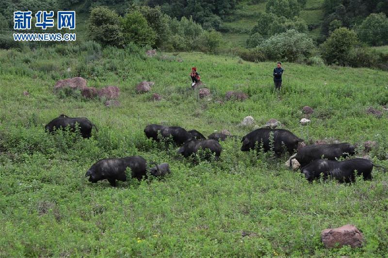 (圖片故事)(4)鄭吃合:從貧困戶到養豬專業戶