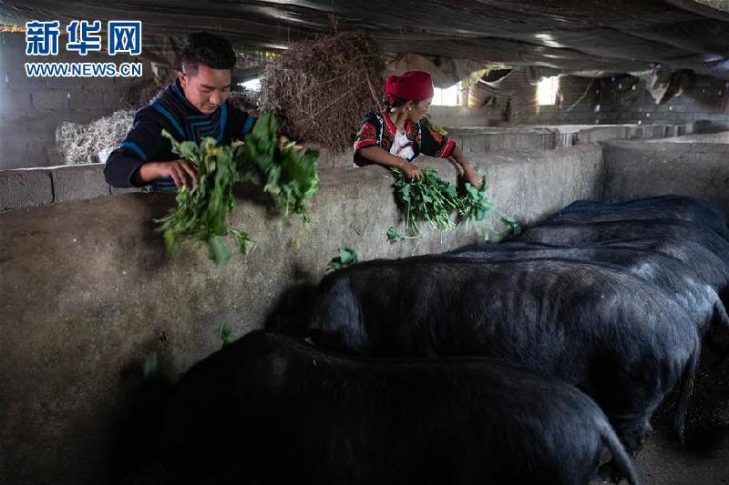 (圖片故事)(2)鄭吃合:從貧困戶到養豬專業戶