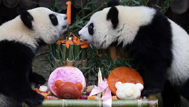 上海野生动物园龙凤胎熊猫宝宝迎1周岁生日