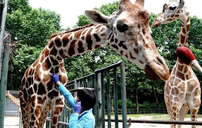 """上海動物園:給動物""""體檢"""""""