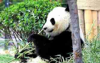 濟南:大熊貓園內散步盡享美好春天