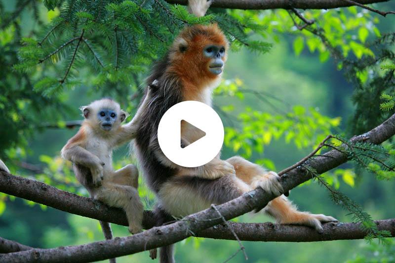 国际珍稀动物保护日丨走进神农架金丝猴