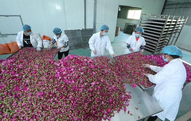 安徽蒙城:特色種植助力扶貧增收