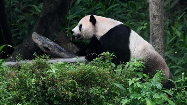 贈臺大熊貓十年迎客兩千余萬