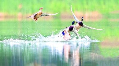 三角湖野鴨白鷺湖鷗回來了 一年多的水環境綜合整治見成效