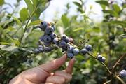藍莓正豐收