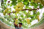 安徽濉溪:産業園裏迎豐收