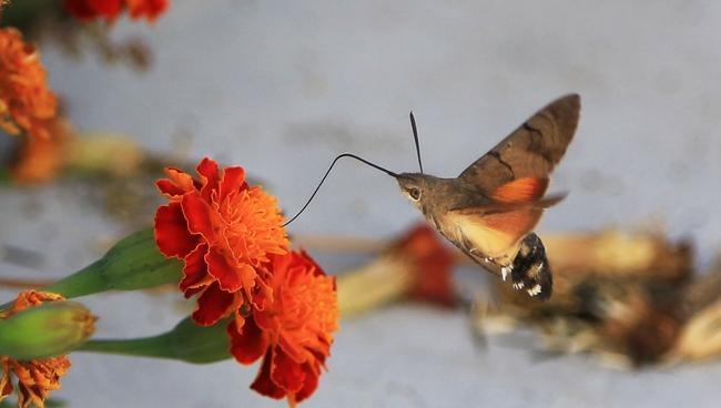 蜂鳥鷹蛾採蜜忙