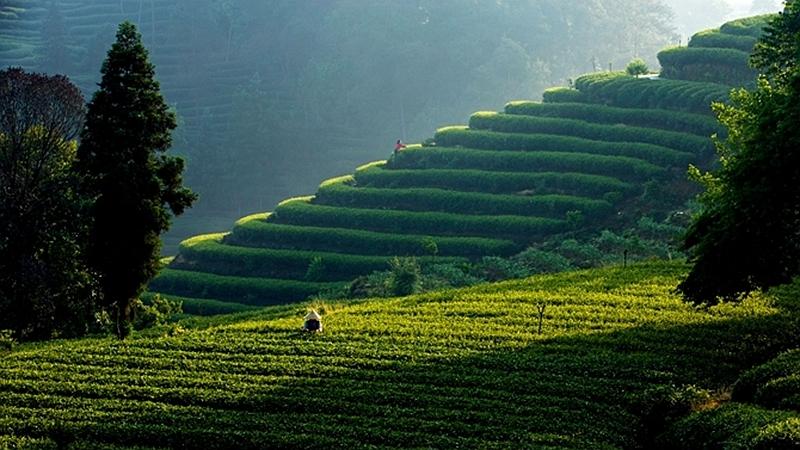 國社@四川 有專家認為:雅安是史料記載世界最早人工種茶地
