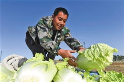 白菜價格現低谷 部分農戶等臘月出售