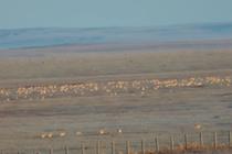 冷空氣來襲 數千野生黃羊遷徙中蒙邊境地區