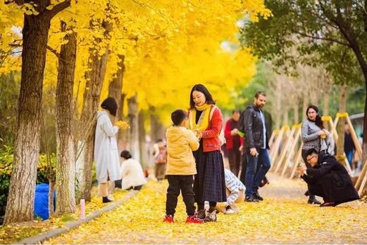 速來打卡! 三峽大學成片銀杏葉黃剔透美如畫