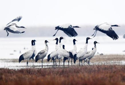 貴州草海迎來大批越冬候鳥